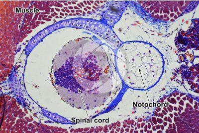 Salamandra salamandra. Salamander. Larva. Spinal cord and notochord. Transverse section. 64X