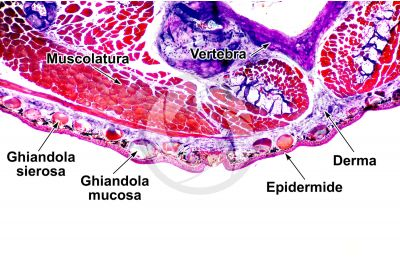 Salamandra salamandra. Salamandra. Cute e epidermide. Sezione trasversale. 64X