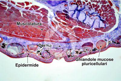 Salamandra salamandra. Salamandra. Cute e epidermide. Sezione trasversale. 100X