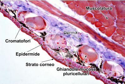 Salamandra salamandra. Salamandra. Cute e epidermide. Sezione trasversale. 250X