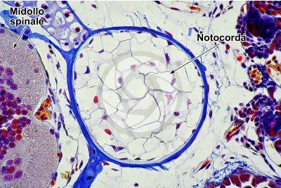Salamandra salamandra. Salamandra. Larva. Midollo spinale e notocorda. Sezione trasversale. 250X