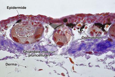 Triturus sp. Tritone. Cute e epidermide. Sezione verticale. 250X