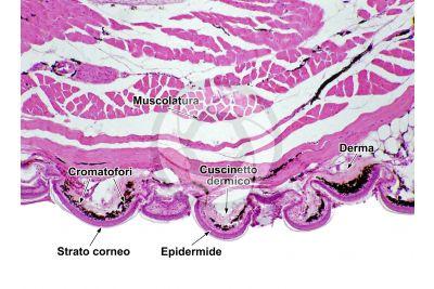 Lacerta sp. Lucertola. Squama verrucosa. Sezione verticale. 30X