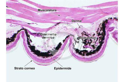 Lacerta sp. Lucertola. Squama verrucosa. Sezione verticale. 250X