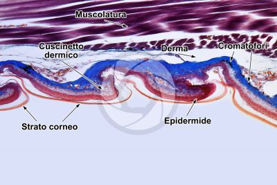Lacerta sp. Lucertola. Squama imbricata. Sezione verticale. 100X