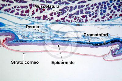 Lacerta sp. Lucertola. Squama scudata. Sezione verticale. 100X