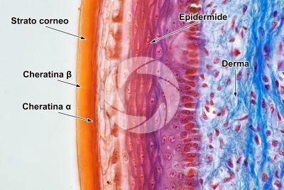 Lacerta sp. Lucertola. Squama scudata. Sezione verticale. 1000X
