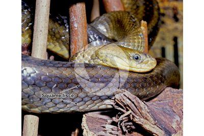 Serpentes. Serpente. Squama liscia. Vista laterale