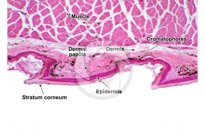 Testudines. Turtle. Leg. Skin and epidermis. Vertical section. 64X