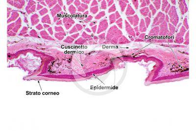 Testudines. Tartaruga. Zampa. Cute e epidermide. Sezione verticale. 64X