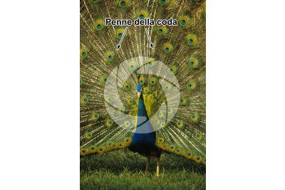 Pavo cristatus. Pavone comune. Penna della coda