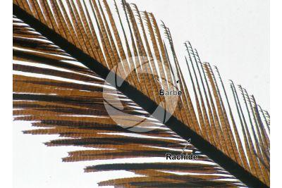 Pavo cristatus. Pavone comune. Penna della coda. 64X