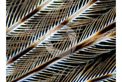 Pavo cristatus. Pavone comune. Penna. 64X