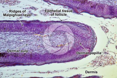 Gallus gallus domesticus. Chicken. Skin and epidermis. Vertical section. 100X
