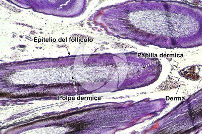 Gallus gallus domesticus. Pollo. Cute e epidermide. Sezione verticale. 64X