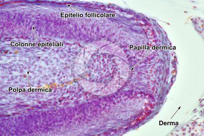 Gallus gallus domesticus. Pollo. Cute e epidermide. Sezione verticale. 250X
