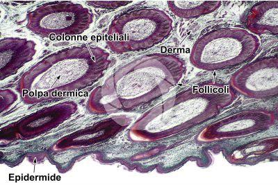 Gallus gallus domesticus. Pollo. Cute e epidermide. Sezione verticale. 32X