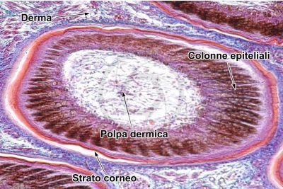 Gallus gallus domesticus. Pollo. Cute e epidermide. Sezione verticale. 100X