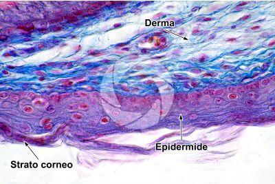 Gallus gallus domesticus. Pollo. Cute e epidermide. Sezione verticale. 500X