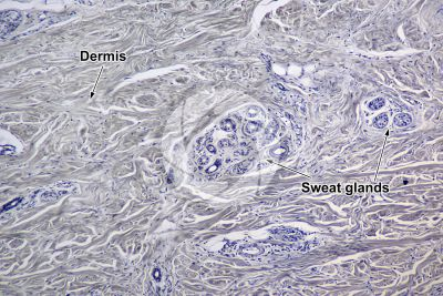 Man. Sweat gland. Vertical section. 64X