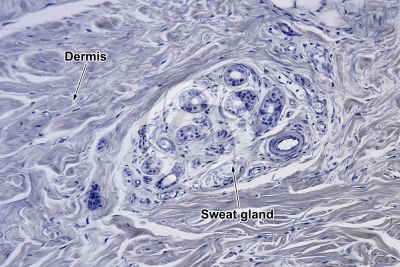 Man. Sweat gland. Vertical section. 125X