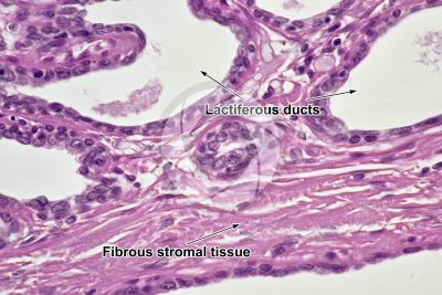 Woman. Active mammary gland. Vertical section. 500X