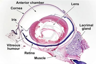 Mammal. Lacrimal gland. Transverse section. 10X