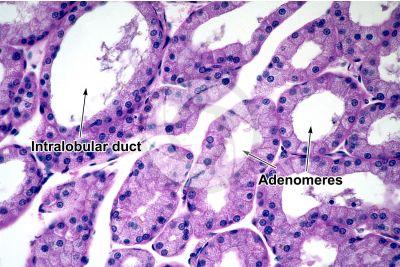 Mammal. Lacrimal gland. Transverse section. 250X
