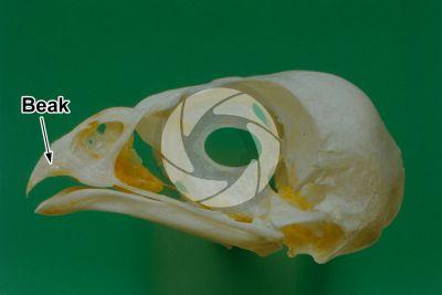 Skin appendage. Falcon. Beak