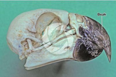Skin appendage. Parrot. Beak