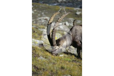 Skin appendage. Alpine ibex. Horn