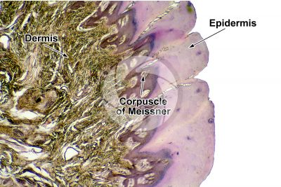 Man. Corpuscle of Meissner. Vertical section. 32X
