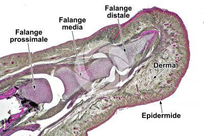 Uomo. Embrione. Falange distale e intermedia. Sezione longitudinale. 32X