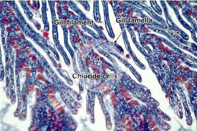 Petromyzon sp. Lamprey. Gill slit. Transverse section. 250X
