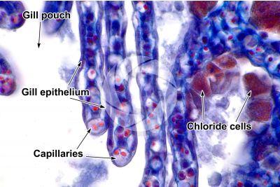 Petromyzon sp. Lamprey. Gill slit. Transverse section. 1000X