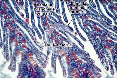 Petromyzon sp. Lampreda. Lamella branchiale. Sezione trasversale. 250X