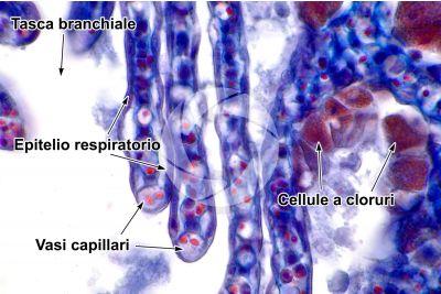 Petromyzon sp. Lampreda. Lamella branchiale. Sezione trasversale. 1000X