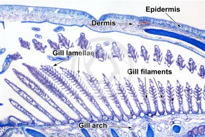 Scyliorhinus sp. Scyllium sp. Dogfish. Gill slit. Transverse section. 32X