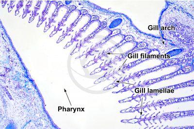Scyliorhinus sp. Scyllium sp. Dogfish. Gill slit. Transverse section. 32X