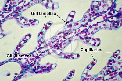 Scyliorhinus sp. Scyllium sp. Dogfish. Gill slit. Transverse section. 250X