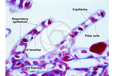 Scyliorhinus sp. Scyllium sp. Dogfish. Gill slit. Transverse section. 500X