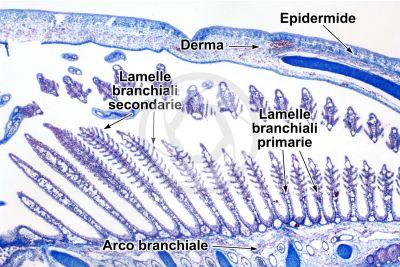 Scyliorhinus sp. Scyllium sp. Pescecane. Lamella branchiale. Sezione trasversale. 32X