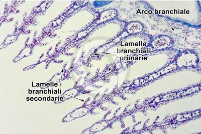 Scyliorhinus sp. Scyllium sp. Pescecane. Lamella branchiale. Sezione trasversale. 64X