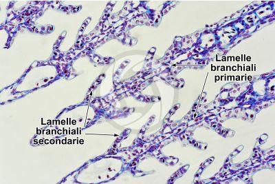 Scyliorhinus sp. Scyllium sp. Pescecane. Lamella branchiale. Sezione trasversale. 125X
