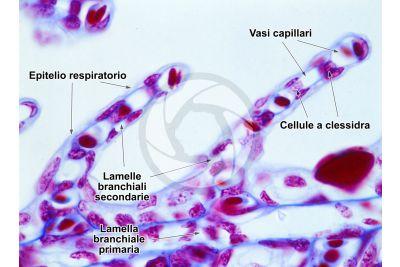 Scyliorhinus sp. Scyllium sp. Pescecane. Lamella branchiale. Sezione trasversale. 500X