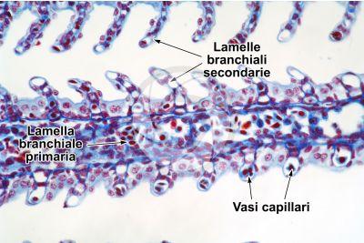 Scyliorhinus sp. Scyllium sp. Pescecane. Lamella branchiale. Sezione trasversale. 250X