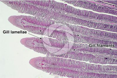 Cyprinus sp. Gill slit. Longitudinal section. 32X
