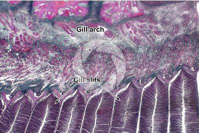 Cyprinus sp. Gill slit. Longitudinal section. 64X
