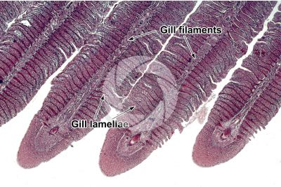 Cyprinus sp. Gill slit. Longitudinal section. 64X