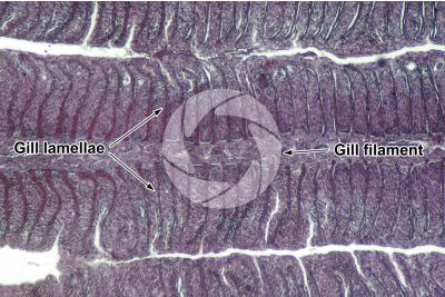 Cyprinus sp. Gill slit. Longitudinal section. 100X
